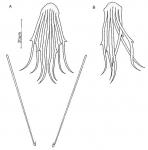 Coelogynopora tenuis