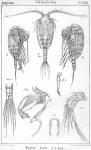 Stephos scotti from Sars, G.O. 1902
