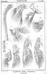 Eurytemora velox from Sars, G.O. 1902