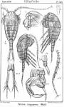 Temora longicornis from Sars, G.O. 1902
