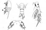Neoscolecithrix farrani from Smirnov 1935