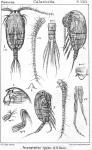 Pseudophaenna typica from Sars, G.O. 1902