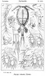 Euryte robusta from Sars, G.O. 1913