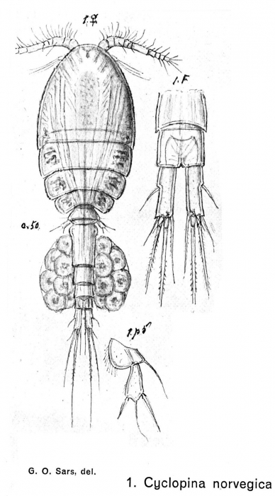 Cyclopina norvegica from Sars, G.O. 1902