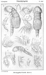 Doropygella thorelli from Sars, G.O. 1921