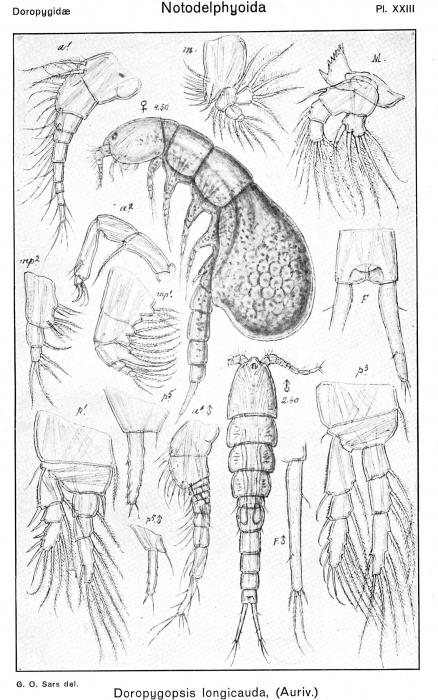 Doropygopsis longicauda from Sars, G.O. 1921