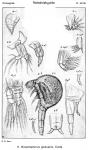 Gunenotophorus globularis from Sars, G.O. 1921