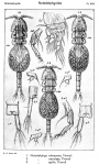 Notodelphys agilis from Sars, G.O. 1921