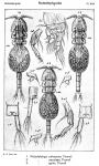 Notodelphys caerulaea from Sars, G.O. 1921