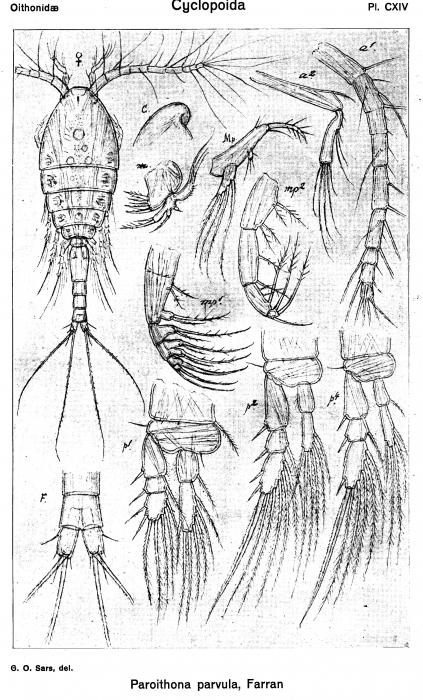 Paroithona parvula from Sars, G.O. 1918