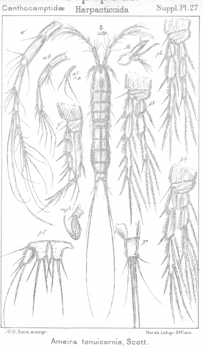 Ameira tenuicornis from Sars, G.O. 1911