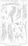 Ameiropsis angulifera from Sars, G.O. 1911