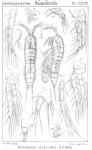Ameiropsis longicornis from Sars, G.O. 1907