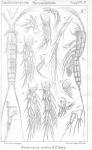 Ameiropsis nobilis from Sars, G.O. 1911