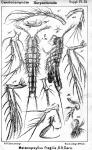 Malacopsyllus fragilis from Sars, G.O. 1911