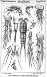 Pseudameira crassicornis from Sars, G.O. 1911