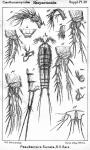 Pseudameira furcata from Sars, G.O. 1911