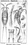 Stenocopia setosa from Sars, G.O. 1907