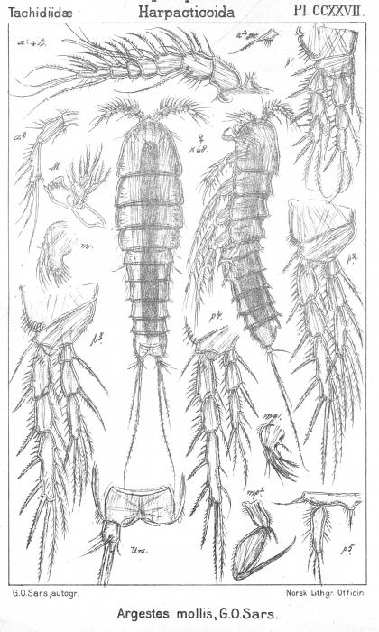 Argestes mollis from Sars, G.O. 1910