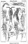 Fultonia hirsuta from Sars, G.O. 1910