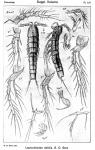 Leptocletodes debilis from Sars, G.O. 1920