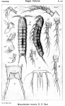 Mesocletodes inermis from Sars, G.O. 1920
