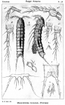 Mesocletodes monensis from Sars, G.O. 1920