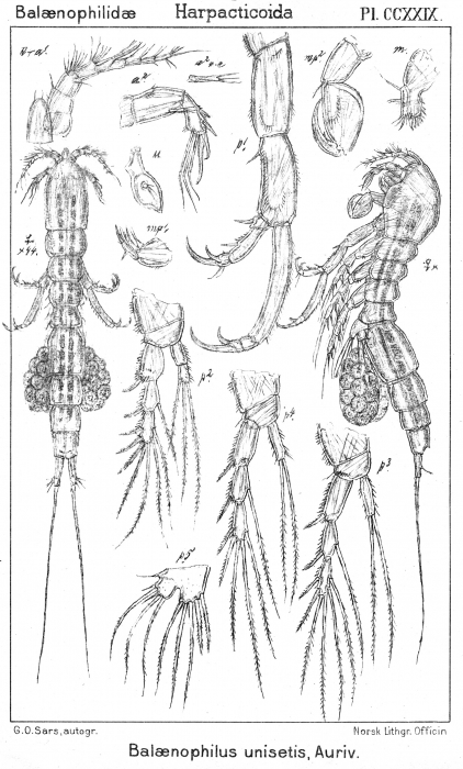 Balaenophilus unisetus from Sars, G.O. 1910