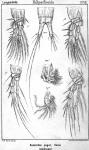 Sunaristes paguri from Sars, G.O. 1903