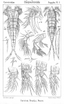 Cervinia bradyi from Sars, G.O. 1911