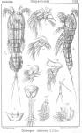 Cerviniopsis clavicornis from Sars, G.O. 1903