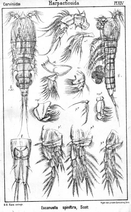 Eucanuella spinifera from Sars, G.O. 1903