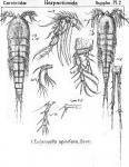 Eucanuella spinifera from Sars, G.O. 1911