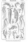 Enhydrosoma curticauda from Sars, G.O. 1909