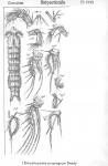 Enhydrosoma propinquum from Sars, G.O. 1909