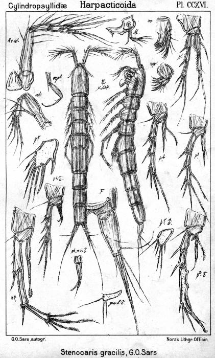 Stenocaris gracilis from Sars, G.O. 1909