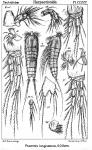 Psammis longisetosa from Sars, G.O. 1910