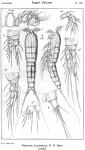 Psammis longisetosa from Sars, G.O. 1921