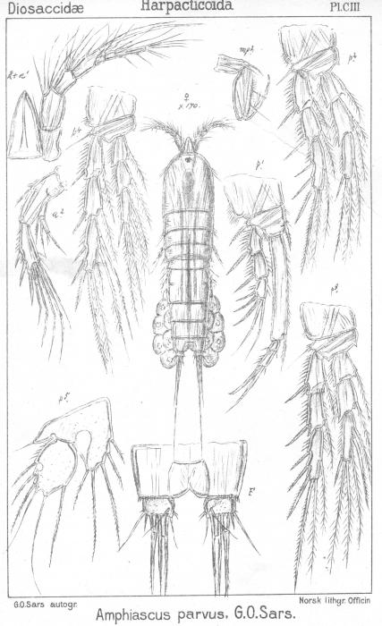 Amphiascus parvus from Sars, G.O. 1906
