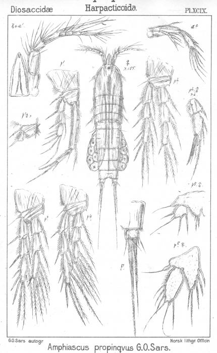 Amphiascus propinquus from Sars, G.O. 1906