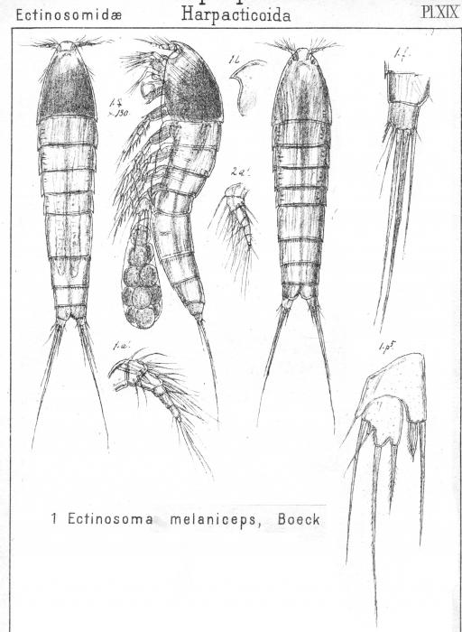Ectinosoma melaniceps from Sars, G.O. 1904