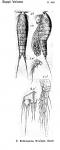 Ectinosoma tenuipes from Sars, G.O. 1920