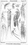 Ectinosomella nitidula from Sars, G.O. 1911