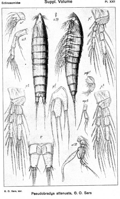 Pseudobradya attenuata from Sars, G.O. 1920