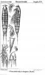 Pseudobradya elegans from Sars, G.O. 1911