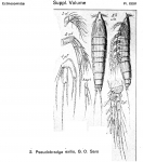 Pseudobradya exilis from Sars, G.O. 1920