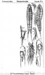 Pseudobradya fusca from Sars, G.O. 1911