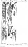 Pseudobradya hirsuta from Sars, G.O. 1911