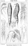 Pseudobradya leptognatha from Sars, G.O. 1920