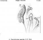 Pseudobradya pygmaea from Sars, G.O. 1920